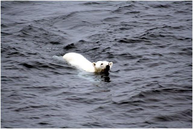 Oso polar nadando en mar abierto en el Ártico