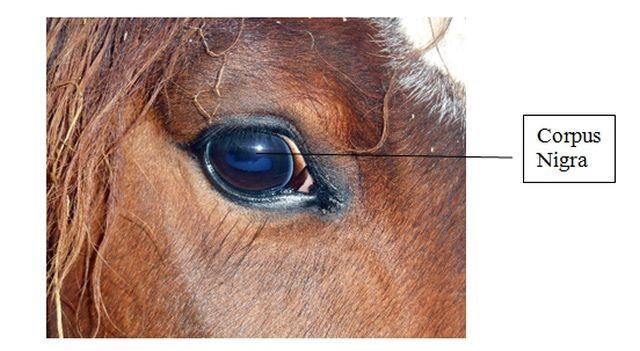 Pupila rectangular de un caballo. Obsérvese en la parte superior, elongaciones del iris: Corpus nigra