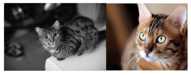 : Gatos con distinto nivel de contracción o dilatación pupilar en función de la luz ambiente. Los gatos pueden dilatar su pupila hasta 135 veces su tamaño. Los humanos sólo podemos expandirla 15 veces entre apertura máxima y mínima