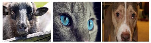 Distintas morfologías de las pupilas: cabra rectangular, gato vertical, perro circular