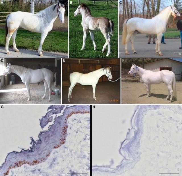 A-F: Caballos blancos portadores del gen dominante W. Obsérvese como algunos aún presentan cierta pigmentación. G-H: Biopsia de piel de caballo: a la izquierda se observa -en marrón- la presencia de melanocitos y el pigmento melanina. A la derecha, biopsia de piel de caballo blanco: nótese la ausencia de pigmentación. Autores: Haase B, Brooks SA, Schlumbaum A, Azor PJ, Bailey E, Alaeddine F, et al. (2007) Allelic Heterogeneity at the Equine KIT Locus in Dominant White (W) Horses. PLoS Genet 3(11): e195.