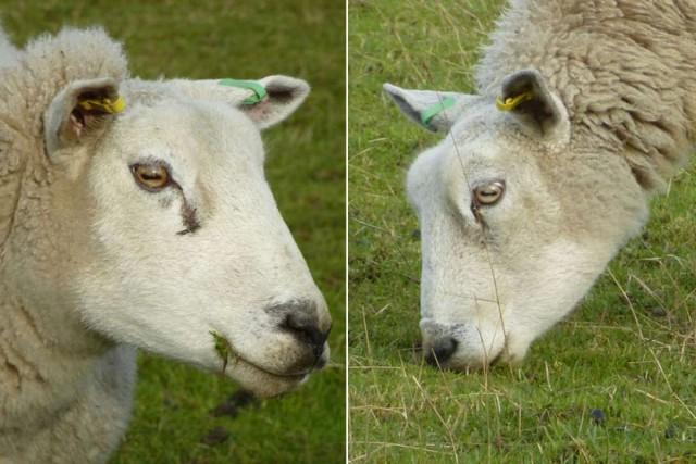 Tanto en atención como pastando, el eje mayor de la pupila permanece paralelo al suelo Foto: Durham University