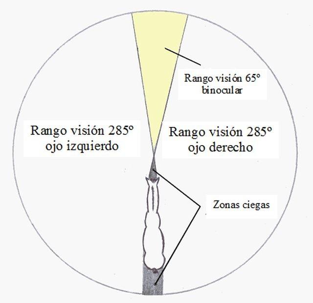 : Campo visual del caballo. Visión de 350º de los cuales 65º son binoculares y 285º se alcanzan a ver con cada ojo independientemente