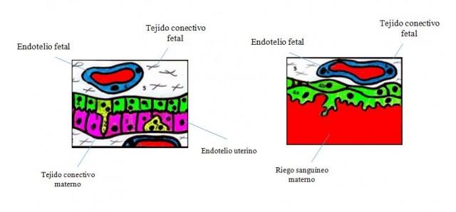 A la izquierda, placenta sindesmocorial, propia de los bovinos en la que numerosas capas de tejido evitan la transferencia de IgG. A la derecha, placenta hemocorial, propia de humanos en la que el epitelio de las membranas fetales conecta directamente con el flujo sanguíneo materno, permitiendo así el trasvase de IgG durante la gestación