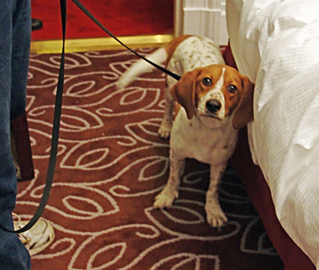 Perro especializado en la detección de chinches de las camas. Commons wikipedia