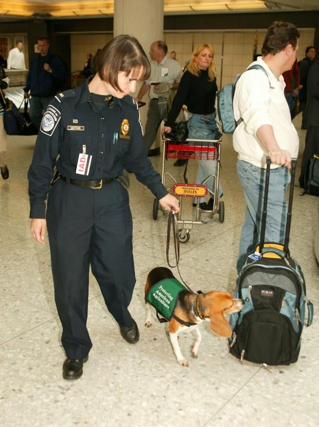 Perro policía en un aeropuerto de los EE.UU detectando la entrada de vegetales u otros alimentos no permitidos. Commons Wikipedia