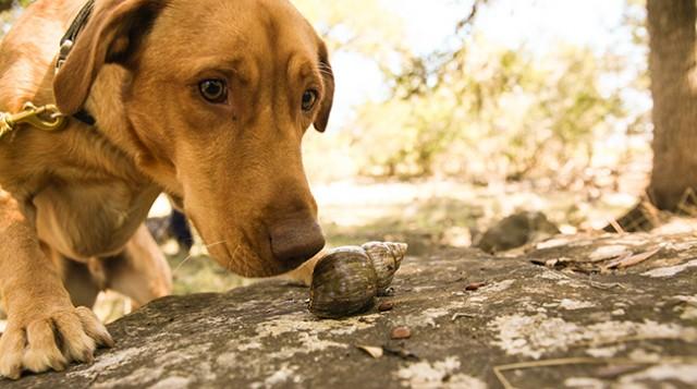 """El perro """"Darwin"""", perteneciente al servicio de detección de especies invasoras de las islas Galápagos, aprendiendo a detectar caracoles invasores africanos. Fuente: Galapagos conservancy, galapagos.org; © Rebecca Ross"""
