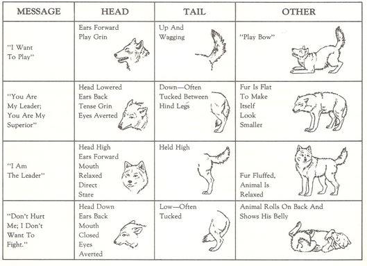 Diferentes posturas y gestos de los lobos. Fuente