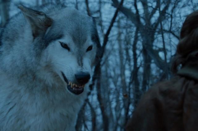 Cara agresiva de Nymeria, en la que muestra poco miedo (nótese sus orejas más bien levantadas que gachas)