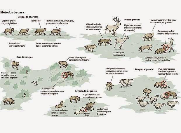 Los lobos de cacería. Fuente