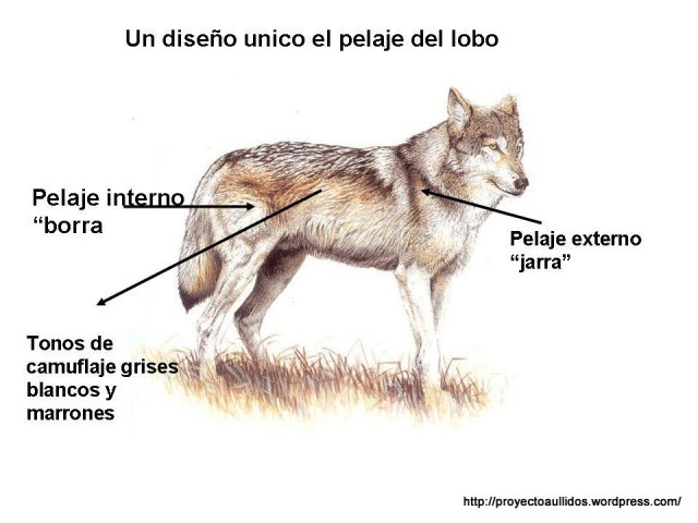 Las dos capas de pelaje del lobo. Fuente