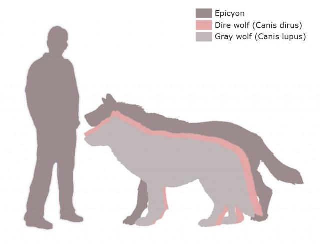 Comparación entre Homo sapiens, Epicyon, Canis dirus y Canis lupus. Fuente