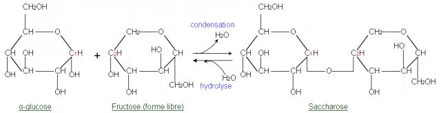 Hidrólisis de una molécula de sacarosa a una glucosa y una fructosa