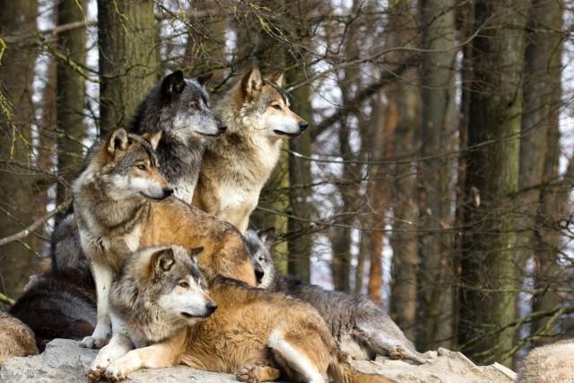 Manada de lobos. Fuente