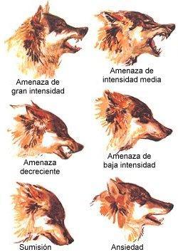 Traducción del significado de algunos de los gestos de la cara del lobo. Fuente