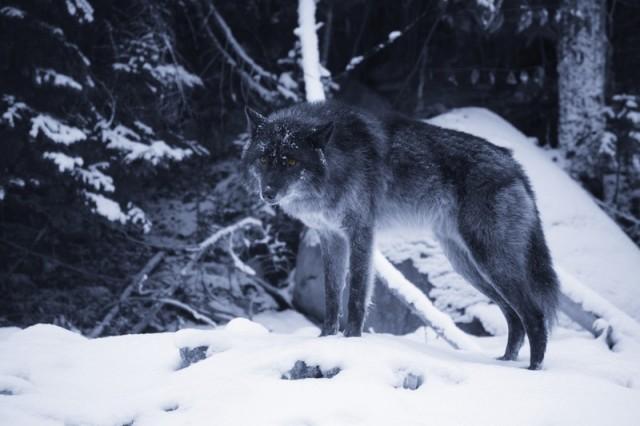 Un lobo solitario. Fuente