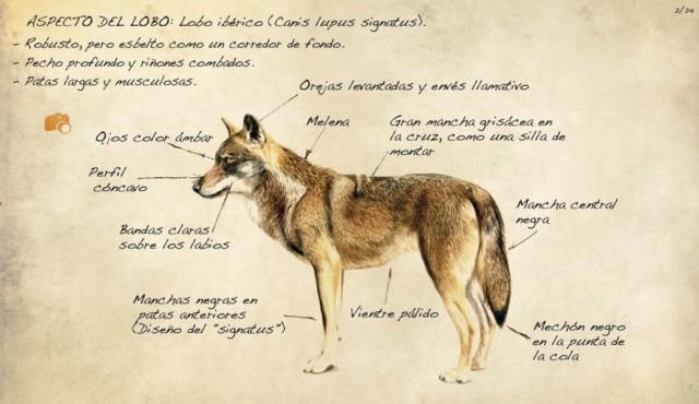Aspecto del lobo ibérico. Fuente
