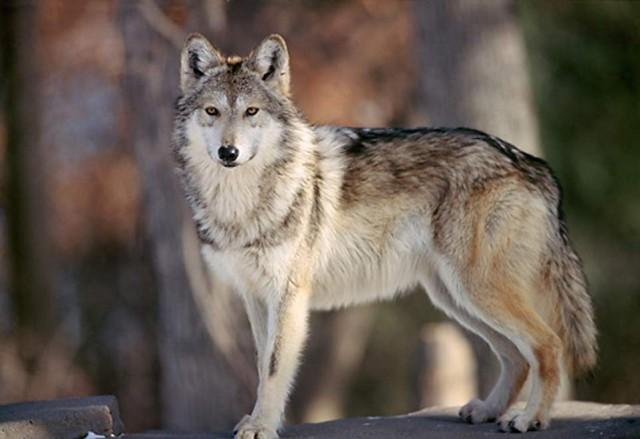 Postura dominante de un lobo. Fuente
