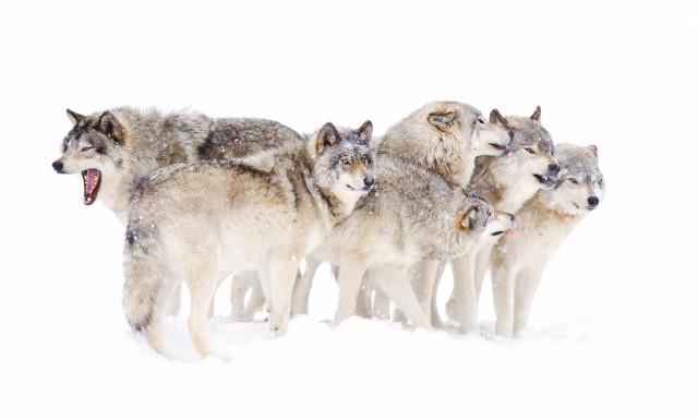 Una familia de lobos. Fuente