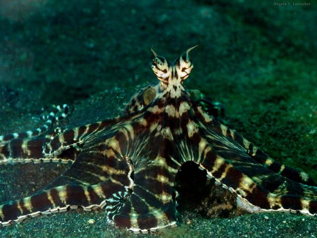 Thaumoctopus mimicus. Fuente