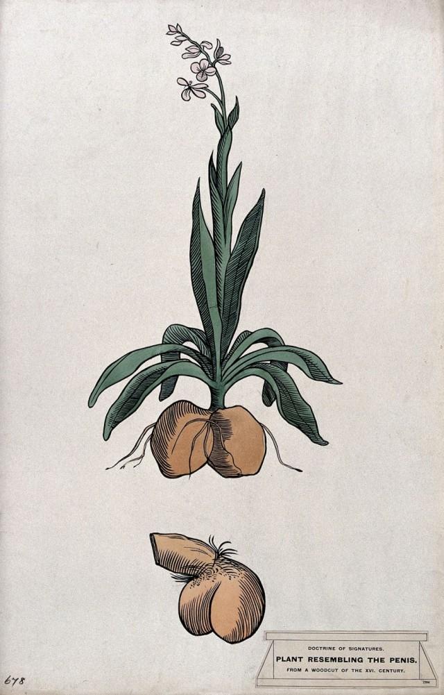 Lámina que recoge la similitud entre una planta y los genitales masculinos.  De acuerdo con la teoría de las signaturas, este parecido, atribuía a la planta efectos curativos sobre estos órganos Fuente: Commons Wikipedia