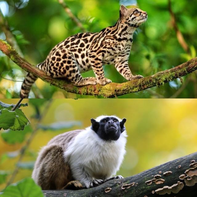 1. Leopardus wideii. Fuente. 2. Saguinus bicolor. Fuente