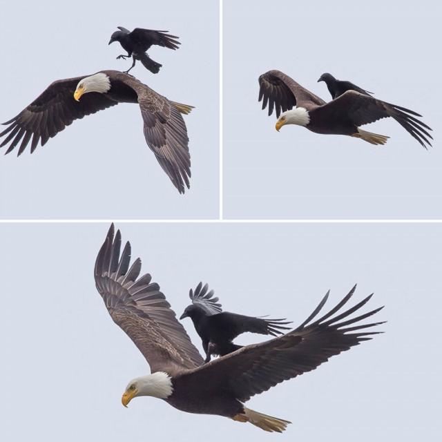 Tres momentos diferentes del momento en que un cuervo se posó sobre un águila. Fotos de Poo Chang. Fuente