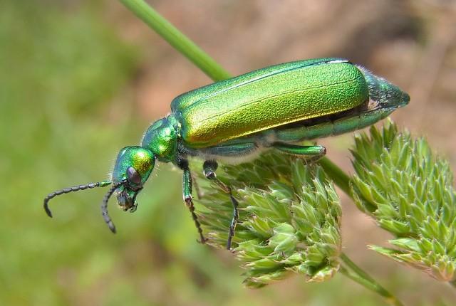 Lytta vesicatoria, el coleóptero que segrega la cantaridina.  Mide de 12 a 22 mm. Se halla en Europa meridional y en el continente americano. Fuente: Commons Wikipedia