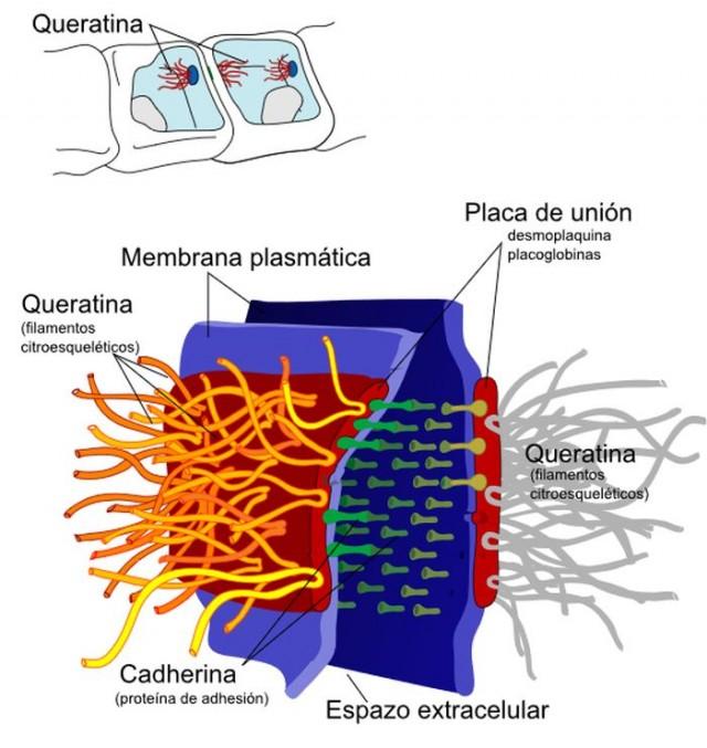 Detalle de la placa desmosómica.  Estructuras proteicas que sirven de unión entre las células epiteliales y que son rotas por la acción de la cantaridina.  Fuente: Commons Wikipedia
