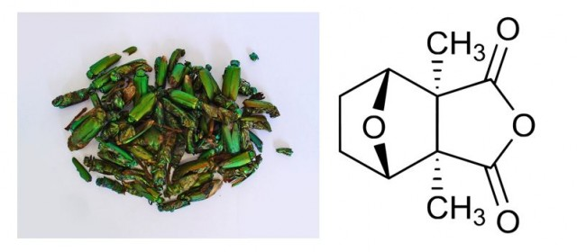 A la izquierda, escarabajos secos listos para ser triturados. A la derecha estructura química de la cantaridina Fuente: Commons Wikipedia