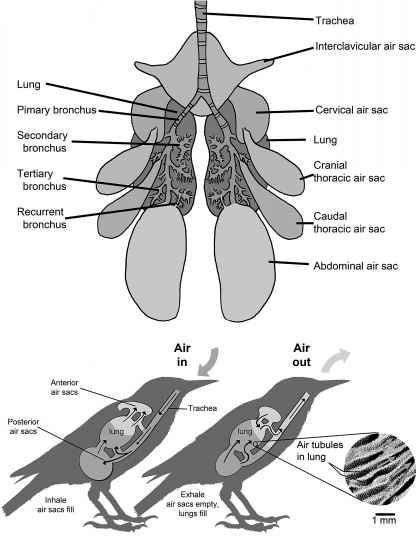 Sacos aéreos y modo respiración de las aves actuales. Fuente
