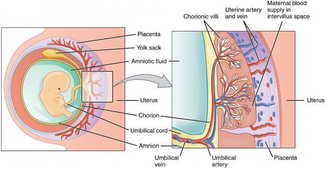 La placenta hemocorial se caracteriza por la íntima unión de los riegos del feto y de la madre. Todas las especies que tienen la regla presentan esta placenta