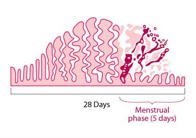 Obsérvese cómo el endometrio aumenta su grosor y riego para ser eliminado más tarde en caso de que no se produzca la nidación de un embrión