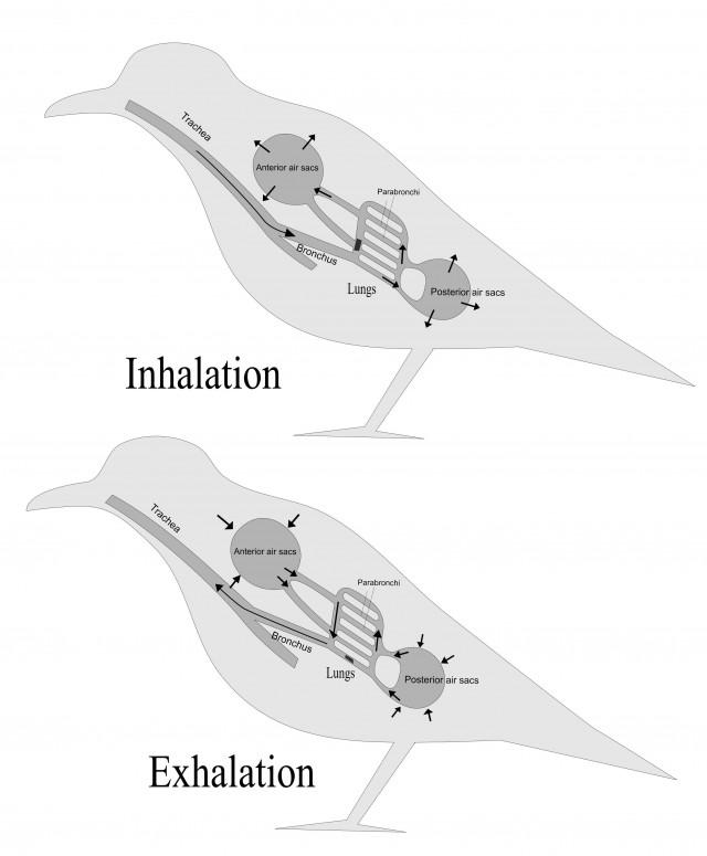 Respiración de las aves: Durante la inspiración el aire –rico en O2- pasa por los pulmones y rellena también los sacos aéreos posteriores. Al espirar, el aire de los sacos aéreos posteriores –rico en O2- se dirige a los pulmones, mientras que el aire cargado de CO2 escapa de los pulmones a los sacos aéreos anteriores. Por tanto, tanto al inspirar como al espirar los pulmones recibirán aire rico en O2. Fuente: Commons