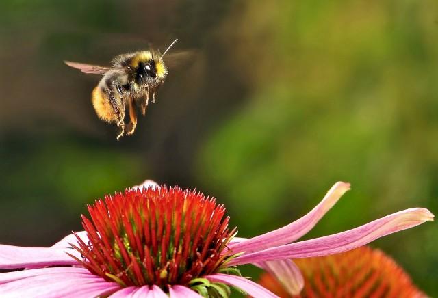 bumblebee-951083_1920