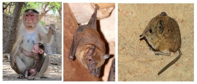 Especies que menstrúan. De izquierda a derecha: Macaco (Macaca mulatta), Murciélago (Carollia perspicillata), Musaraña elefante (Rhynchocyon petersi).