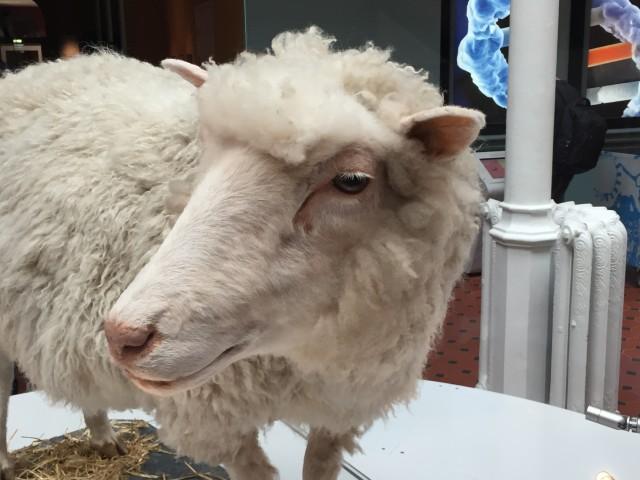 La oveja Dolly (1996-2003), disecada y expuesta en el Museo Nacional de Escocia, en Edimburgo. Fotografía de Lluís Montoliu.