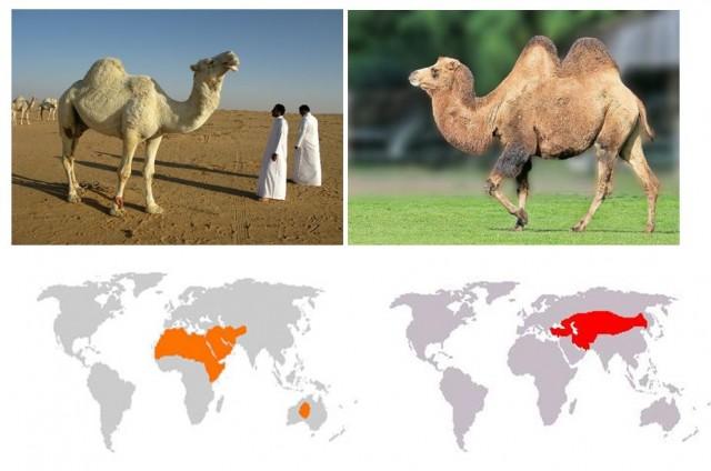 A la izquierda dromedario (una joroba) presente en Oriente Medio, África y Australia. A la derecha camello bactriano asiático (dos jorobas) presente en Asia Central