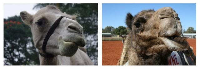 A la izquierda: fosa nasal abierta, a la derecha: fosa nasal cerrada mediante pliegues cutáneos