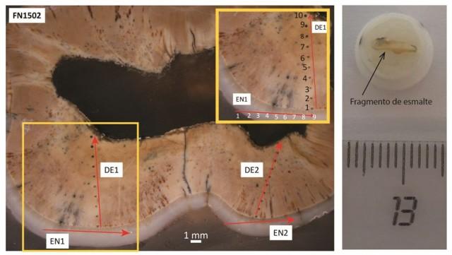 . Ilustración del proceso de datación mediante U-Th y ESR (Fotos: Mathieu Duval). Izquierda: Diente de Rinoceronte del yacimiento de Fuente Nueva-3 analizado por LA-ICP-MS según la misma metodología que para el diente extraído de Misliya-1. Se realizaron varios perfiles de ablación laser (sucesión de puntos de ablación laser de 200 micrómetros de diámetros) en la dentina (tejido dental interno; perfiles llamados aquí DE1 y DE2) y el esmalte (perfiles EN1 y EN2). Derecha: fragmento de esmalte (color ligeramente amarillo) procedente del diente datado por ESR y montado en su soporte de teflón y Parafilm para su medición por espectrometría ESR