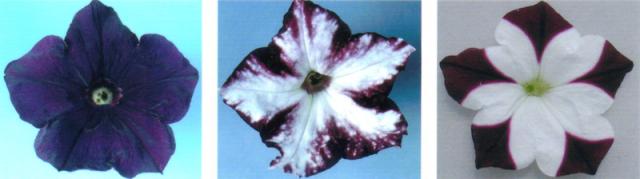 Flores de petunias transgénicas