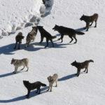 Origen del perro. Duelo científico de fósiles y genes