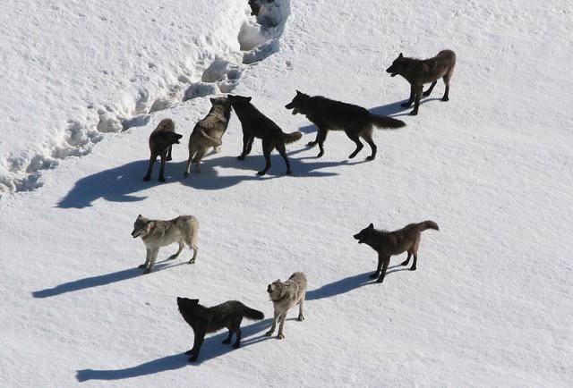 Los análisis genéticos demostraron que perros y lobos modernos serían taxones hermanos. Ambos descienden de una especie de lobo extinta no identificada. Autor: Doug Smith. Fuente: https://en.wikipedia.org/wiki/File:Yellowstone_Wolves.jpg