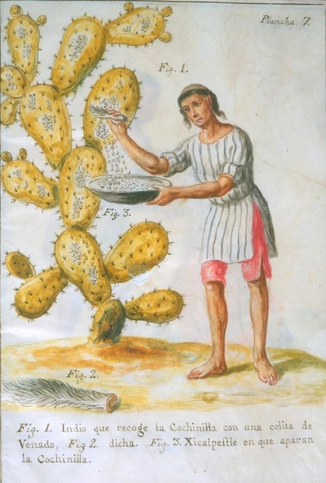 Grabado de un indio recolectando las cochinillas de un cactus. Fuente: Wikipedia