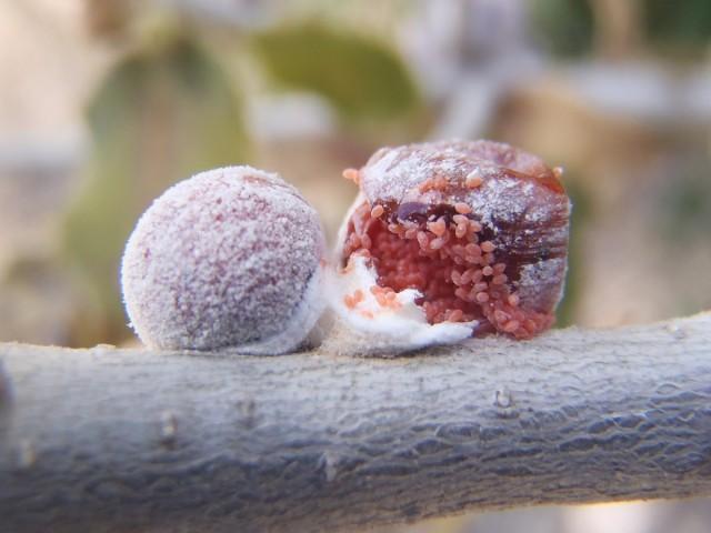 Hembras de Kermes vermillion adheridos a la rama de una encina.  Obsérvese a la derecha las larvas en el interior de la madre.  Fuente: Project Noah. http://www.projectnoah.org/spottings/255006061