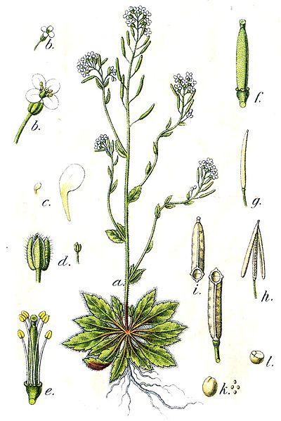 Representación gráfica de la planta Arabidopsis thaliana