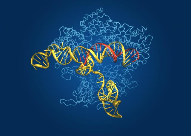 Estructura cristalina deducida de la proteína Cas9 (en azul), alrededor de una molécula de ADN (en amarillo) y formando complejo con una molécula de ARN guía (en rojo). Crédito de la imágen: Bang Wong, Broad Institute of Harvard and MIT, Cambridge, MA, USA.
