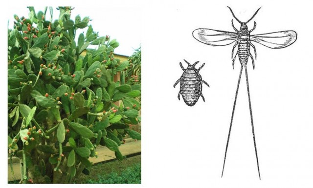 A la izquierda cactus del género Opuntia. A la derecha grabado que representa macho (alado) y hembra del Dactylopius coccus. Fuente: Wikipedia.