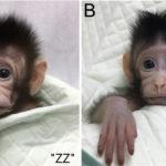 21 años después: clonados los primeros macacos con el método usado para la oveja Dolly