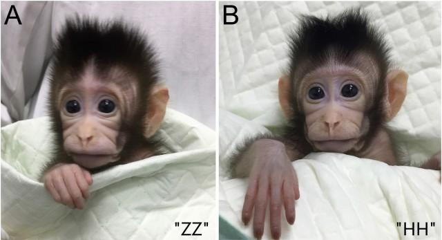 Fotografías de Zhong Zhong (ZZ) y Hua Hua (HH), dos macacos cangrejeros (Macaca fascicularis) obtanidos por transferencia nuclear de células somáticas (clonación rerproductiva) a partir de núcleos de fibroblastos fetales de estos primates, a los 20 y 34 días después del nacimiento, respectivamente. Fotografía modificada de la Figura 4 del artículo por Liu y col. en Cell (2018), publicado el 24 de enero. DOI: http://dx.doi.org/10.1016/j.cell.2018.01.020